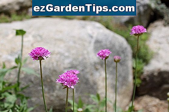 Armeria Formosa - Pinkball Thrift