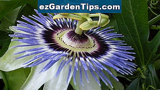 Blue Crown Passion Flower