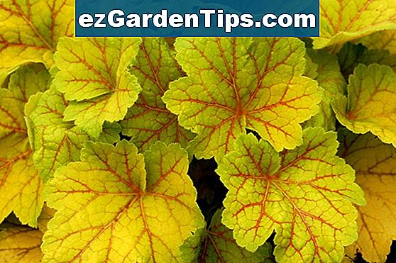 Heuchera Citronelle Care