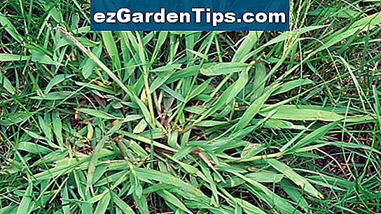 Crabgrass vs. sirak