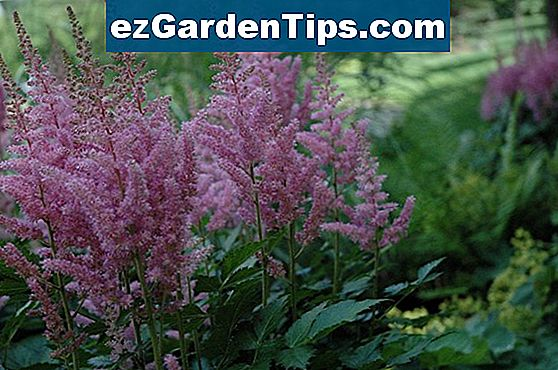 Astilbe Fall Care