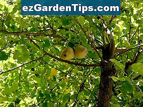 Ayers Pear Tree Informace