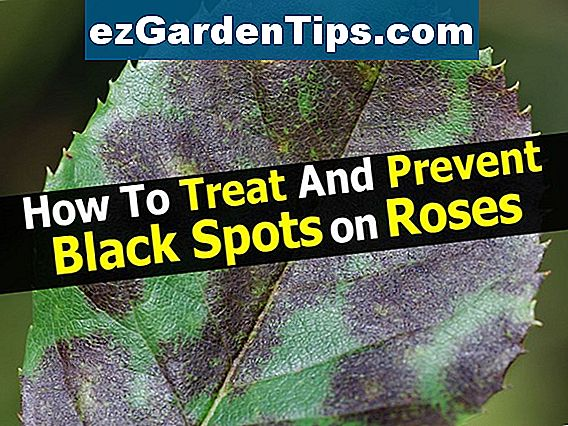 Absolute Cure for Black Spots on Roses
