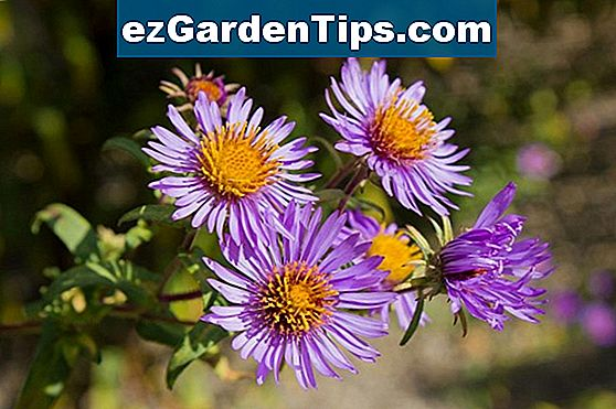 Asters Fast Facts