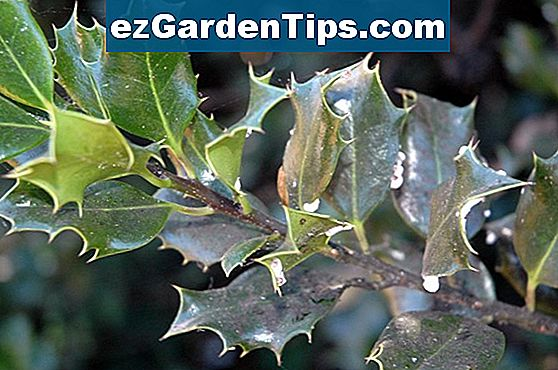 Holly Bush Leaf Disease