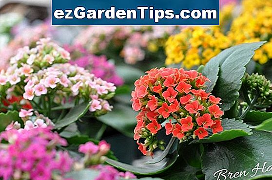 Kalanchoe Colors