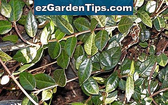 Asiatic Jasmine Care