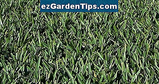 Saint Augustine Grass vs. Bermuda Grass