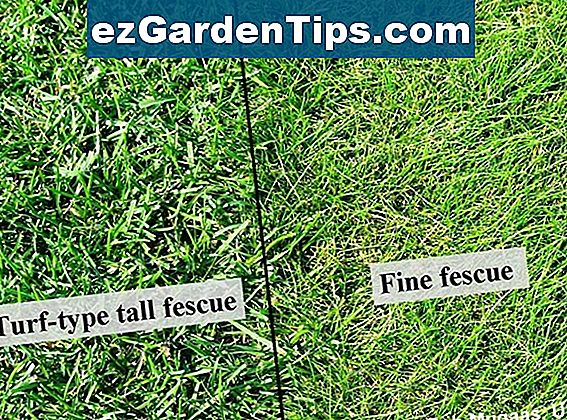 Tall Fescue Grass Vs. Trvalka Rye