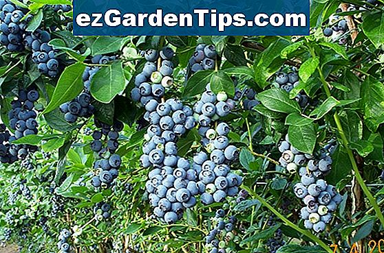 Blueberry Bush Adaptace