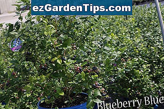 Informace o Blueray Blueberry Bushes