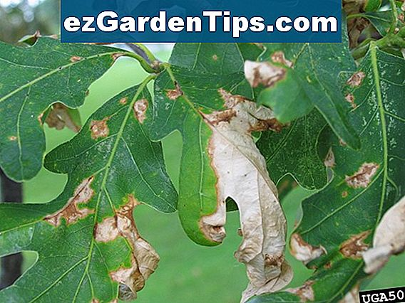 Post Oak Tree Diseases