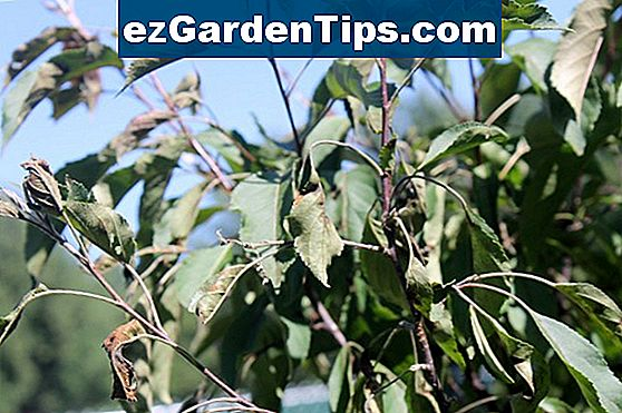 Crab Apple Tree Blight