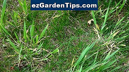 Come prendersi cura di St Augustine Grass in Florida